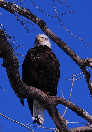 Adult Eagle Resting in Tree at Petenwell Dam, Wisconsin River, Wisconsin