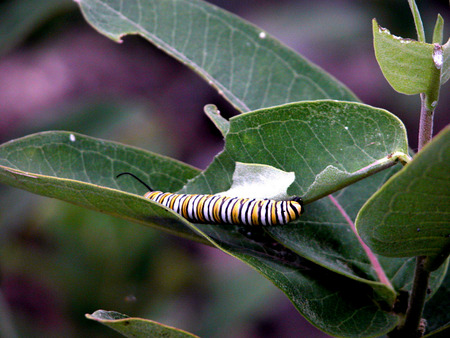 Monarch Butterfly Caterpillar in Wisconsin photo