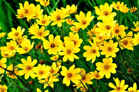 Wildflower - Yellow Happy Faces - Wild Coreopsis lanceolata - in Necedah Wildlife Refuge, Wisconsin, USA