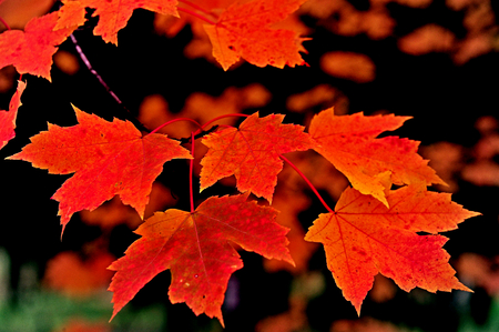 Close-up of Bright Fall Color - Red Orange Maple Leaves in Wisconsin