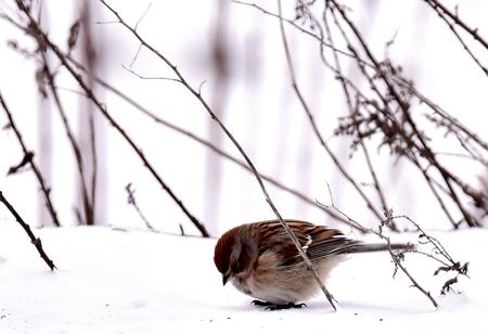 stock vista: Soft Little American Tree Sparrow  in Buena Vista SWA - Wisconsin