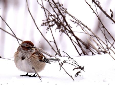 stock vista: American Tree Sparrow in Buena Vista SWA - Wisconsin