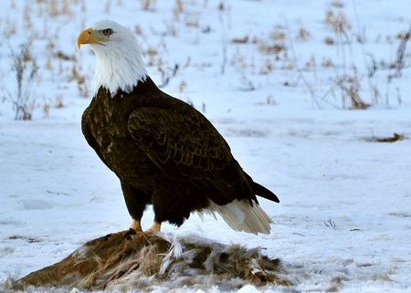 carcass: Mature Bald Eagle in Wisconsin Protecting Carcass Supper