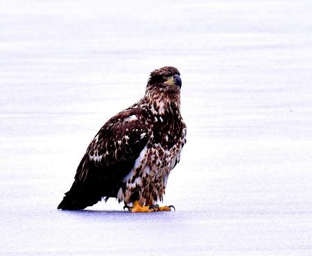 Immature Bald Eagle on Petenwell Lake Ice - Wisconsin Stock Photo