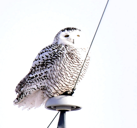 Snowy Owl Posing at Buena Vista Refuge, Wisconsin Stock Photo