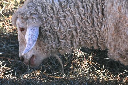 Gentle Curly Sheep Close up  - Tillamook - Oregon Stock Photo