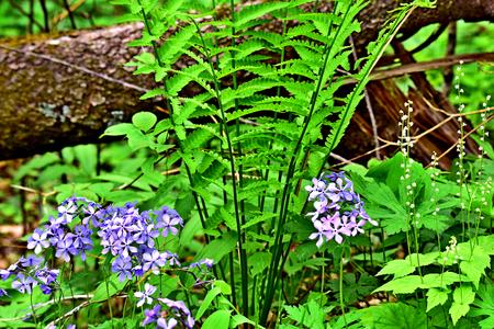 Wildflower - Wild Blue Phlox - Phlox divaricata - Wisconsin