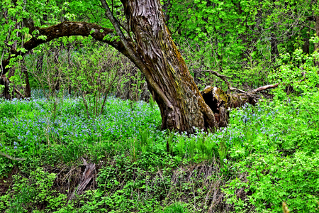 Virginia Bluebells on the riverbank of Kickapoo River, Wisconsin Stock Photo