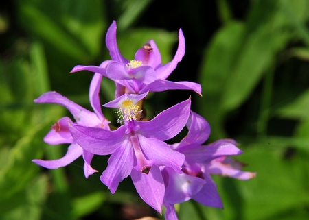 Wildflower - Grass Pink Calopgon tuberosus - Wisconsin