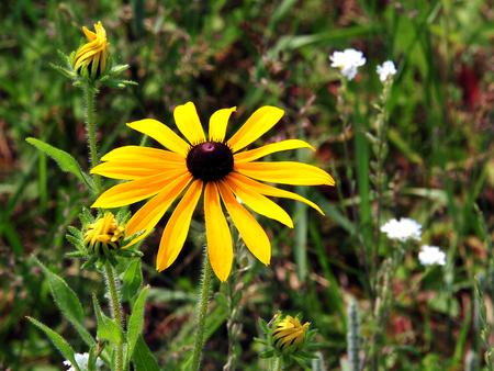 Wildflower - Black-Eyed Susan - Rudbeckia hirta - Necedah Wildlife Refuge - Wisconsin