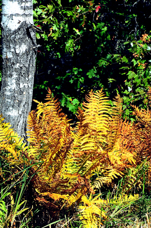 refuge: Gold  Yellow Fall Ferns in Necedah Wildlife Refuge, Wisconsin