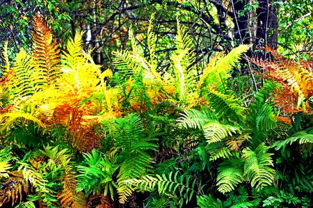 Bright Fall Fern Display - Necedah Wildlife Refuge, Wisconsin