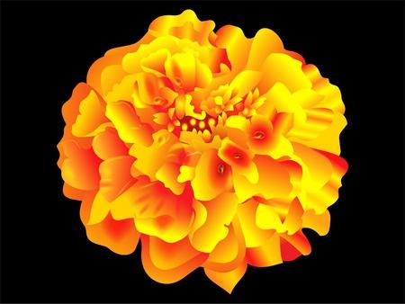 calendula flower: detailed marrygold flower vector illustration