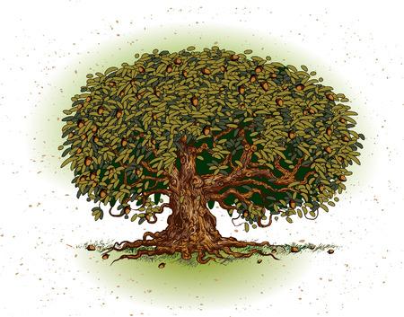 nut trees: Oak tree