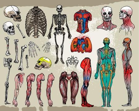 main sur l epaule: Ossements humains et organes