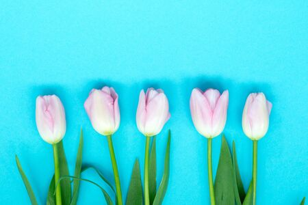 Pink tulips on the blue background. Flat lay, top view. Valentines background. Stock Photo