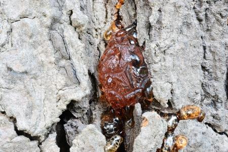 siamensis: Azadirachta indica Juss  var  siamensis Valeton Gum Stock Photo