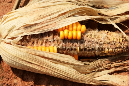 Dry corn on sand in corn farm Stock Photo - 17847370
