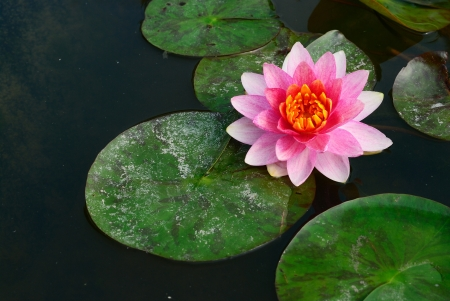 A kind of Thai lotus in the pool background Stock Photo