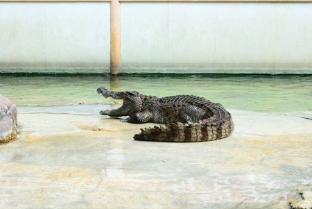 show time: Action of crocodile in crocodile farm show time Stock Photo