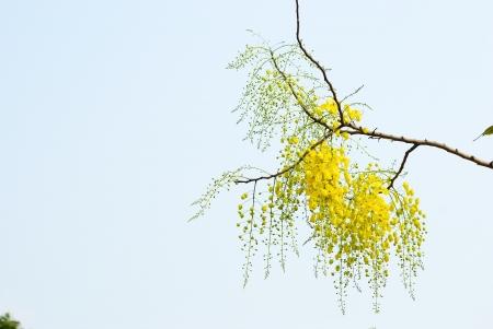 Cassia fistula flower of summer in Thailand background