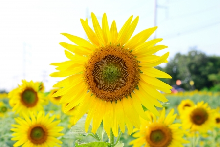 Close up on a sunflower in sunflower field and electricity background