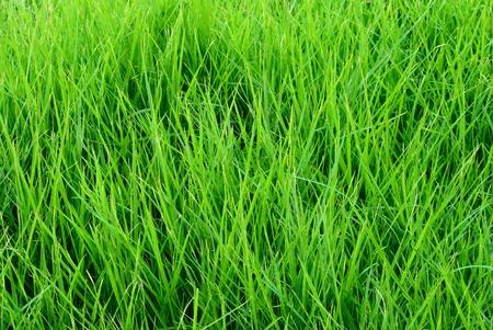 blade of grass: Close up on fresh green grass texture background
