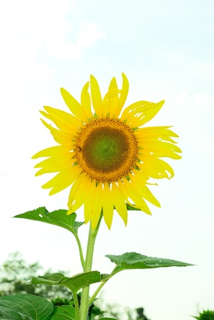 The lonely sunflower with the couldy day background