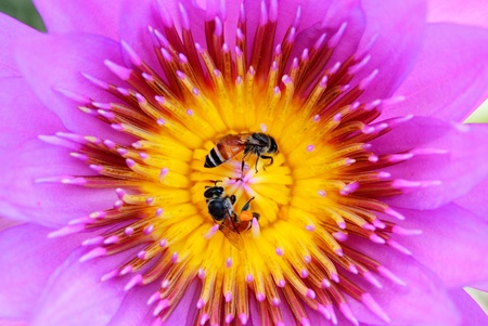 A couple of bee find some food inside of lotus carpel photo