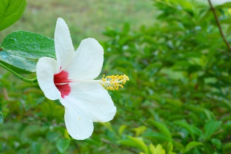 Close up on white hibiscus flowers with green background