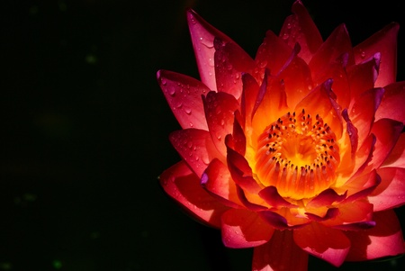 Cut hilight shot of Thai lotus with water drop photo