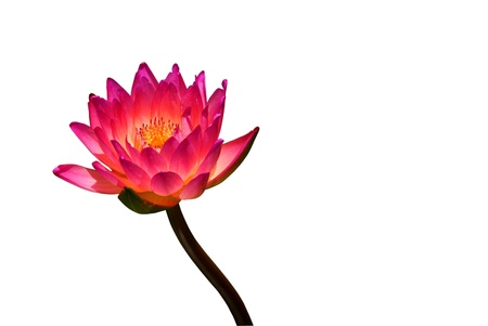 Thai pink lotus on isolated white background Stock Photo