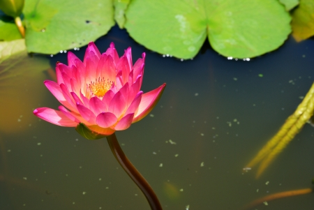 Thai pink water lily in the pool