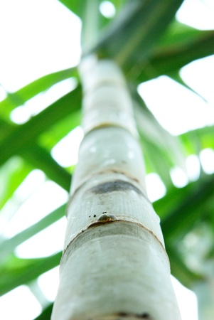 Ant view of sugar cane in sugar cane field Stock Photo