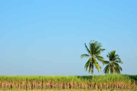 Coconut tree in sugar cane field with clear sky photo