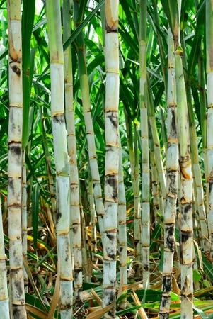 sugar cane farm: Young sugar cane farm from Thailand country