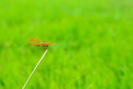 The dragonfly waiting to fly with green grass background