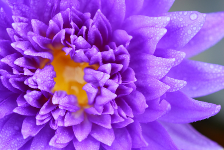Close up of the violet lotus with many of water drop photo