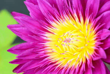 Dark pink lotus and yellow pollen for background photo