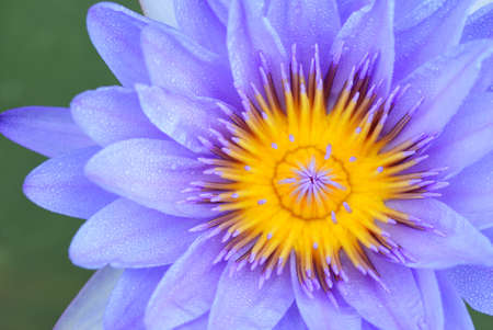 lose up: lose up on violet water lily for graphic design
