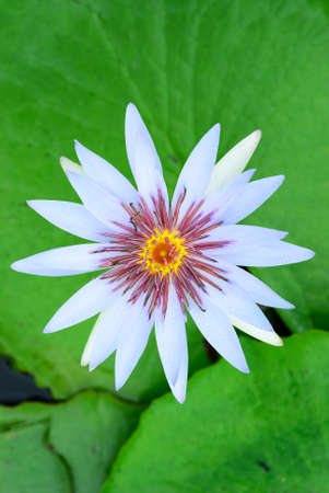 White water lily on green leaf background photo