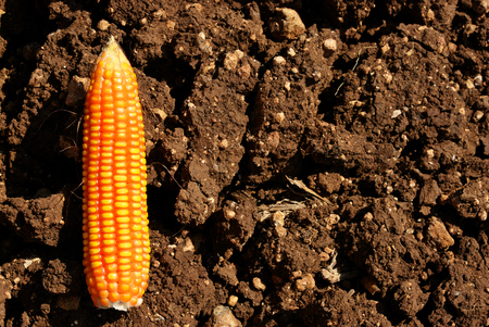 A corn on the black soil use for background  photo