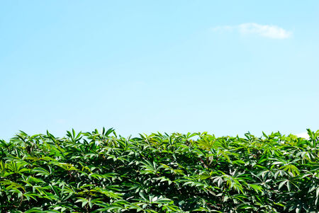 Group of cassava leaf with clear sky for background