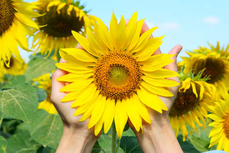 The hand hold a sunflower in sunflower field photo