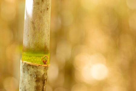 offshoot: Cane offshoot on the beautiful bokeh background Stock Photo