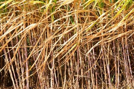 Prepare sugarcane field in Thailand before harvesting