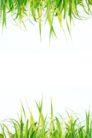 Top and bottom sugar leaf on isolated white background good for graphic designer photo