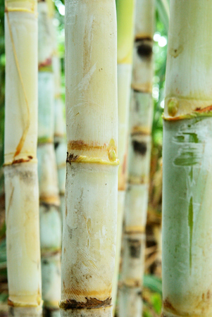 Close up on a part of sugar cane in Thailand