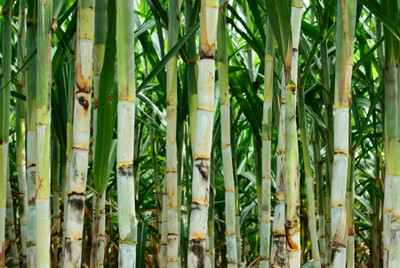 Sugar cane after plant for six month more