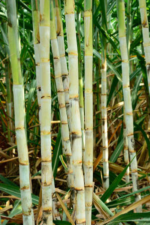 Sugar cane from Thailand is the best quality